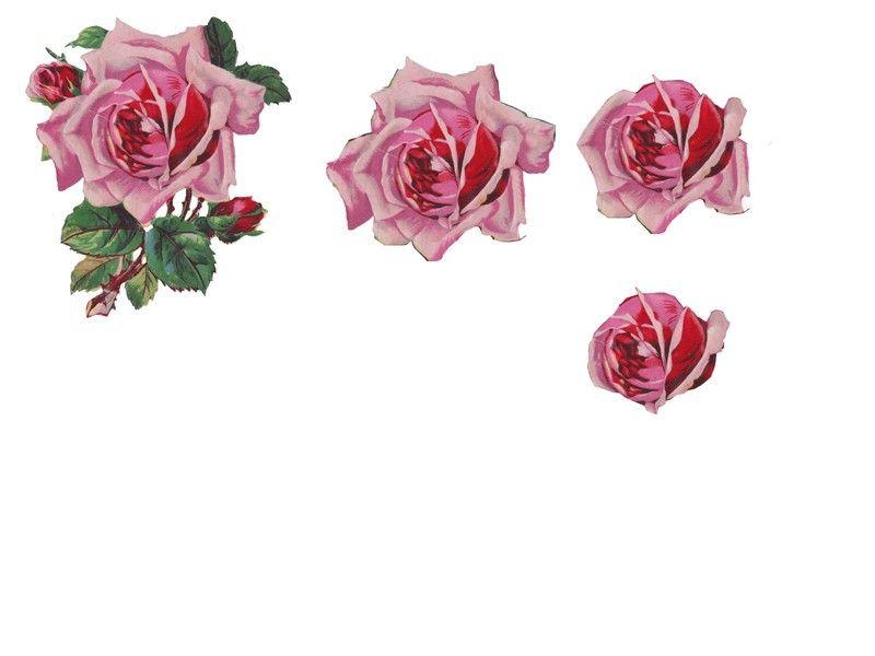 des roses anciennes .
